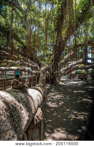 A view of a section of a huge Banyan tree in Lahaina on Maui Hawaii.