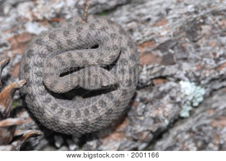 A twin-spotted rattlesnake photographed from above to show the twin-spot pattern. poster