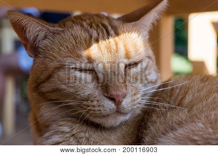 Close-up of a beautiful tired Cat on a Chair. View on a sleeping Ginger Cat. Portrait of a orange Cat. The Sun is shining in the Face of a Cat. Animal Background
