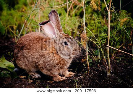 brownish gray rabbit eats grass and gnaws vegetables. Concert farm, pest of a rodent garden and harvest.