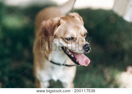 Close-up Of Cute Brown Dog Outdoors, Big Eyes Puppy With Tongue Sticking Out Head Portrait, Animal A