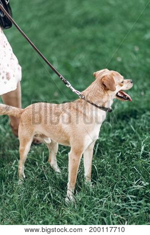 Adorable Brown Dog On A Leash With Owner, Happy Dog With Tongue Sticking Out On A Walk In A Park, Do