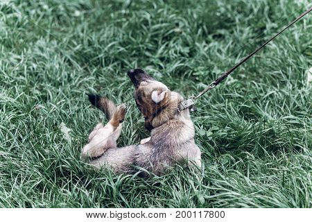 Small Dog Scratching His Head Outdoors, Cute Grey Dog Scratching Itch, Dog Hygiene Concept, Mongrel