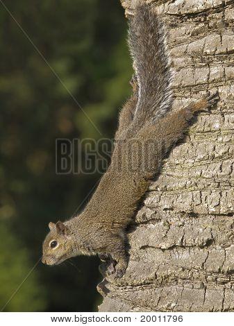 Squirrel on Palm Tree