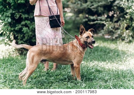 Adorable Big Eye Brown Dog On A Walk With His Owner, Cute Mongrel Dog Enjoying Nature Outdoors, Anim