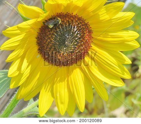 Close up of Sun Flower with a bumble bee