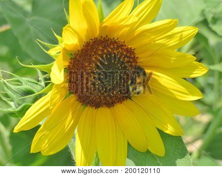 Close up of a Sun Flower with a bumble bee