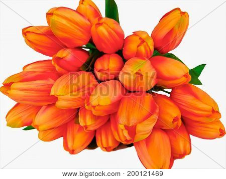 Bunch orange and yellow tulips on a white background