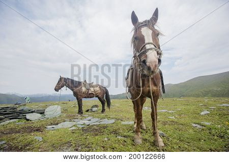 Harnessed Horses In Altai Mountains.