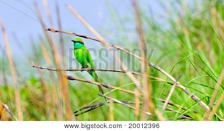 The Little Green Bee Eater Bird