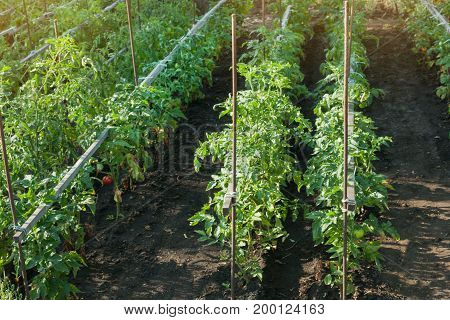 Organic tomatoes ripening in sunlight outdoors in community garden. A row of tied tomatoes