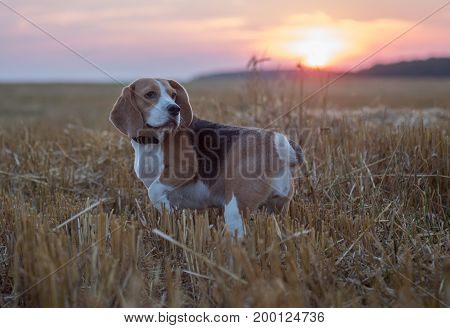 Beagle dog on a background of the setting sun and sky on a walk in the summer evening