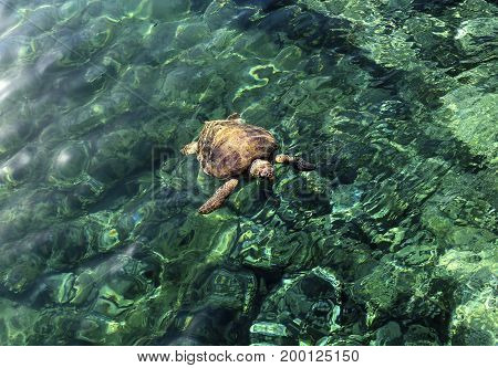 The large turtle swimming in the sea