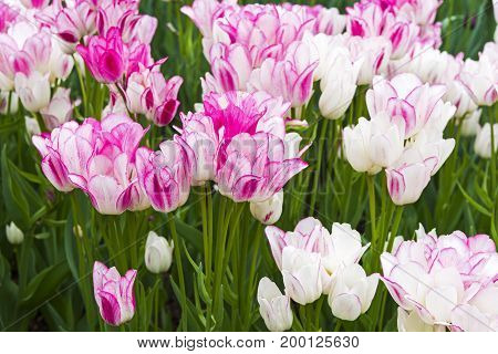 Tulips Of The Candy Club Species
