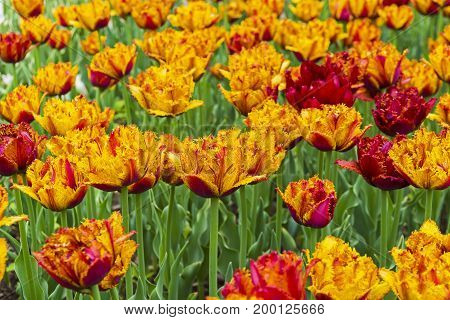 Tulips Of The Bastia Species On A Flowerbed.