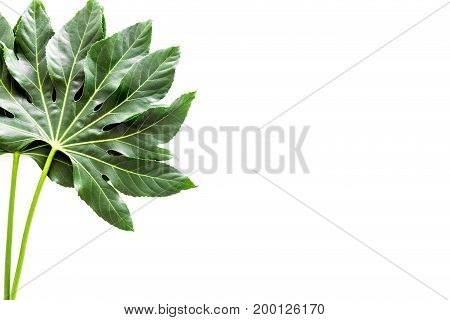 Big leaf of tropical plant on white background top view.