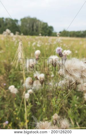 Thistles in fields and meadows as one of the most dangerous weeds