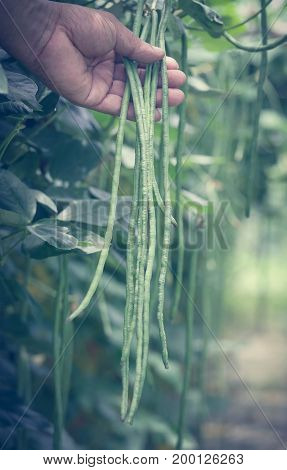 Yard long bean holding by hand in garden