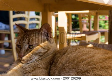 Close-up of a beautiful Cat on a Chair. View on a graceful Ginger Cat. Portrait of a orange Cat. The Sun is shining in the Face of a Cat. Animal Background