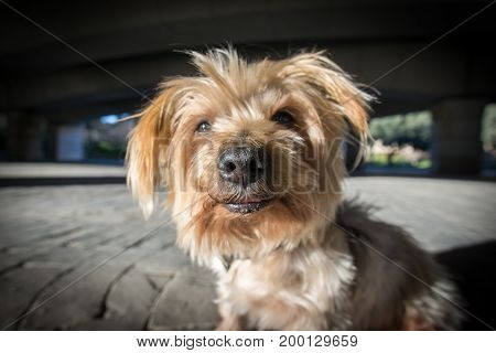 Wide angle of a dog's muzzle. Doggy with curiosity expression. Closeup detail of dog nose and snout, Yorkshire Terrier brown dog. Hey what's up