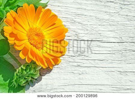 Fresh officinalis orange flowers of calendula on white wood background. Marigold.