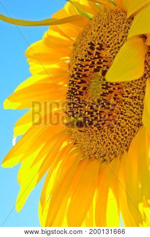 Sunflower Bud of a flower and bumblebee and blue sky