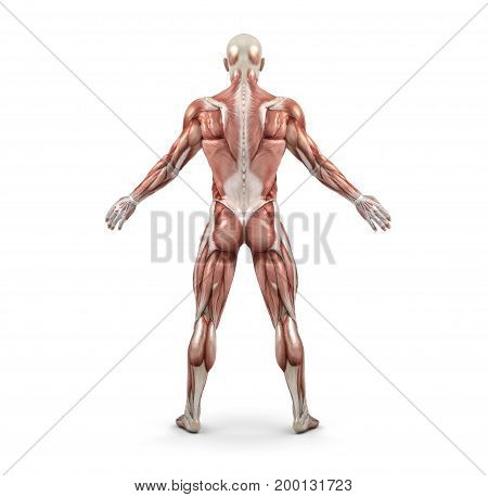 Rear view of the male muscular system. This is a 3d render illustration