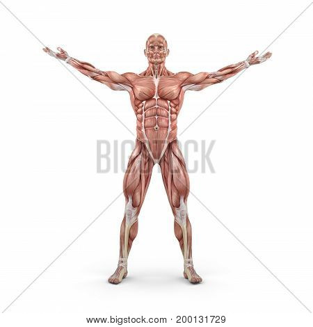 Front view of the muscular system. This is a 3d render illustration