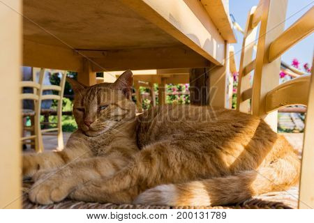 Close-up of a beautiful relaxed Cat on a Chair. View on a Ginger Cat in Summer. Portrait of a orange Cat. Animal Background
