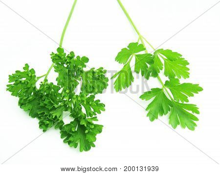Two types of parsley. Spicy plant on a white background