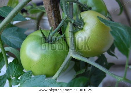 Large Green Tomatoes