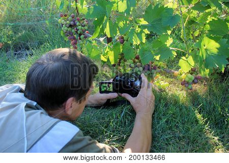 Man lies on grass and photographs bunch of grapes in garden by digital camera. In liquid crystal display image is showing.