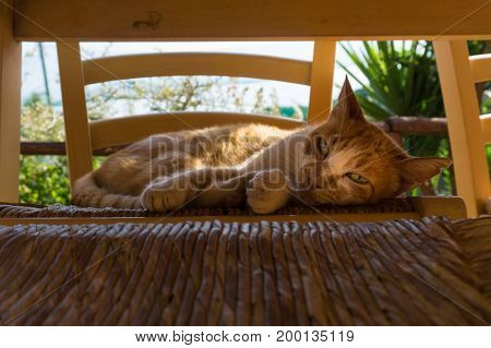 Close-up of a beautiful relaxed Cat on a Chair. View on a lovely Ginger Cat. Portrait of a orange Cat.  Animal Background