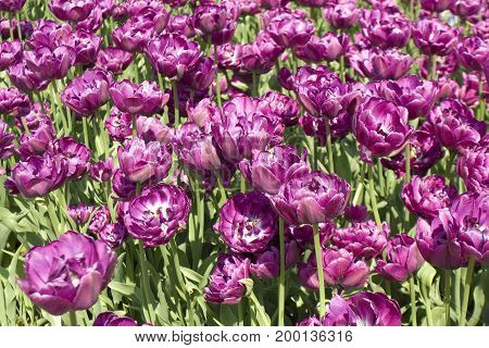 Flowerbed with many violet tulips in garden.