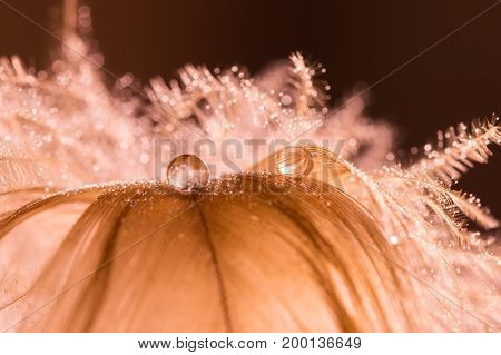 A drop of water dew on a fluffy feather close-up macro with sparkling bokeh on gold blurred background. Abstract romantic delicate magical artistic image for the holiday cards christmas new year.