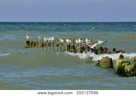 Gulls sitting on the breakwater and preen their feathers