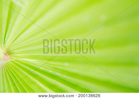 Green nature background of a blurred palm tree leaf