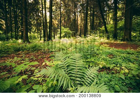 Beautiful Ferns Leaves Green Foliage In Summer Coniferous Forest. Green Fern Bushes In Park Between Woods, Trees