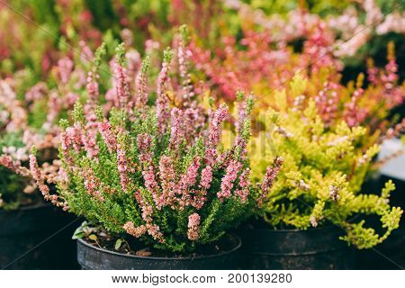 Bush Of Calluna Plant With Pink Flowers In Pot In Flower Store Market.