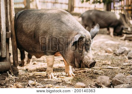 Household A Large Black Pig Itches About The Fence In Farm Yard. Pig Farming Is Raising And Breeding Of Domestic Pigs. It Is A Branch Of Animal Husbandry. Pigs Are Raised Principally As Food
