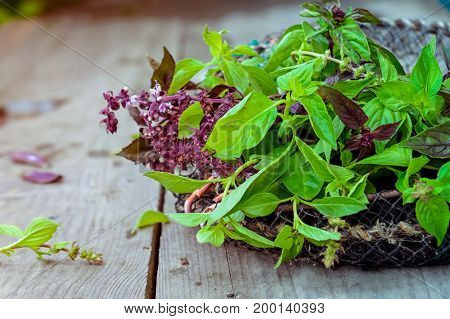 Fresh Organic Bunch Of Green And Purple Basil On The Vintage Wooden Background. Selective Focus. Spa