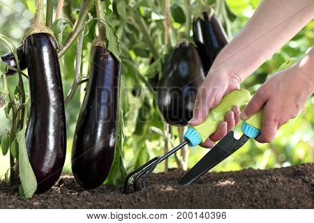 hands works the soil with tools eggplants plants in vegetable garden close up