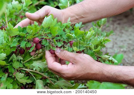 Male Hands Picking Ripe Gooseberries. Red Gooseberry In The Garden. Selective Focus