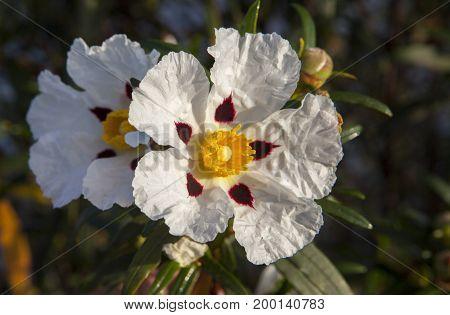 Gum Cistus Gum Rockrose or Cistus ladanifer flowers Piedras Riverside El Rompido Huelva Spain