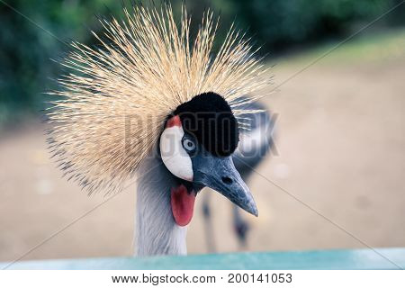 Beautiful crowned crane with blue eyes and a red fence in the zoo
