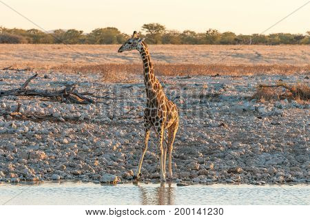 A Namibian Giraffe Giraffa camelopardalis angolensis at a waterhole in Northern Namibia at sunset