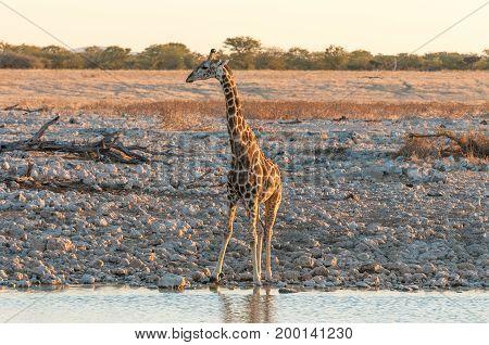 A Namibian Giraffe Giraffa camelopardalis angolensis at a waterhole in Northern Namibia at sunset