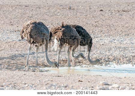 Three ostriches Struthio camelus drinking water at a waterhole in Northern Namibia. Ostriches drink by scooping water with their mouths and letting it flow by gravity to their stomaches