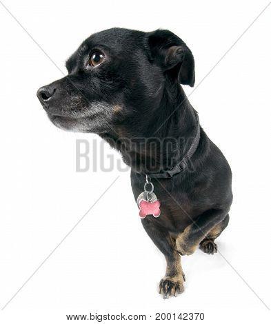 Little dog walking isolated against black background