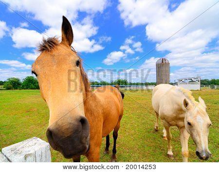 Pair of Horses on a Farm